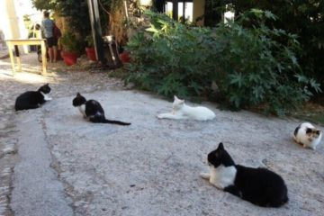 Free roaming cats in Rhodes