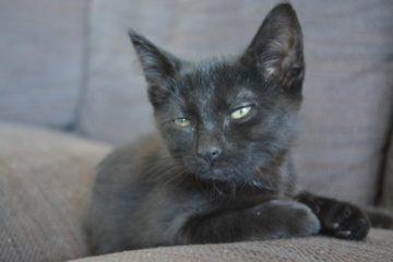 Black cat on sofa.
